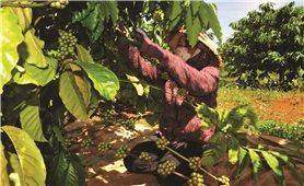 Người trồng cà phê gặp khó khăn vì giá thấp
