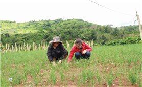 Phát triển cây nén trên vùng đất đỏ bazan