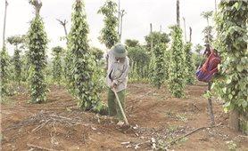 Gio Linh (Quảng Trị): Kết quả bước đầu từ tái cơ cấu nông nghiệp