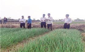 Kiên Giang: Nông dân trồng kiệu phấn khởi đón Tết