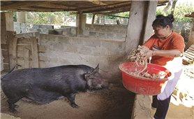 Nuôi lợn bằng dược liệu: Mô hình đem lại hiệu quả kinh tế cao