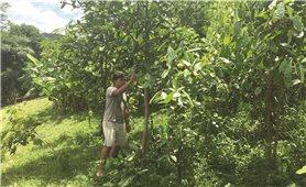 Lào Cai: Hiệu quả trồng rừng sau đầu tư
