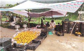 Hà Giang: Nông dân trồng cam không đơn độc