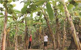 """Lai Châu: """"Tắc"""" đầu ra, người trồng chuối lao đao"""