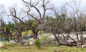 Hàng chục ha rừng bần ở Khánh Hòa bị xóa sổ: Ai chịu trách nhiệm? (Bài 1)