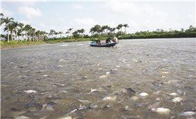 Đồng bằng sông Cửu Long: Tìm giải pháp phục hồi ngành cá tra