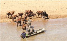 Nghề chăn bò trên đất Tây Nguyên