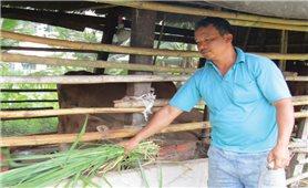 Phát triển kinh tế từ nuôi bò ở xã Loan Mỹ