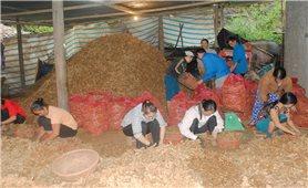 Nhiều nông dân Quảng Trị thoát nghèo nhờ trồng nghệ