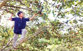 Thạch An (Cao Bằng): Tăng giá trị cho cây đặc sản lê vàng