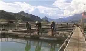 Làm giàu từ nuôi cá tầm trên lòng hồ thủy điện