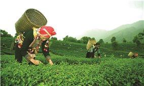 Hương chè Lai Châu