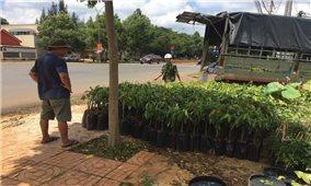 Đổ xô trồng sầu riêng ở Tây Nguyên: Coi chừng lợi bất cập hại