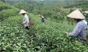 Khá giả từ trồng chè Kim Tuyên