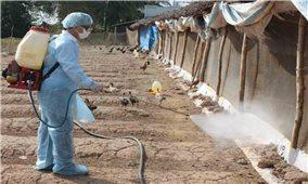 Bình Định: Nguy cơ lây lan dịch cúm H5N6 do người dân tự xử lý xác gia cầm