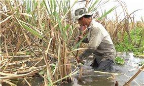 """Sản xuất nông nghiệp ở Hậu Giang: Cần có giải pháp để chấm dứt """"giải cứu"""""""