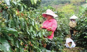Điện Biên: Nông dân đối mặt với cà phê mất mùa, mất giá