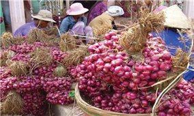 Vĩnh Châu (Sóc Trăng): Hiệu quả trồng hành tím theo tiêu chuẩn VietGAP