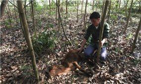 Công ty TNHH giống cây trồng vật nuôi Tân Thành: Cung cấp bò bệnh, cây giống kém chất lượng cho dân nghèo