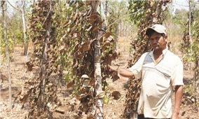 Nông dân Tây Nguyên đang đối mặt với hạn hán
