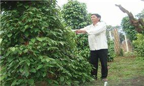 """Nông dân Bình định tự phát mở rộng diện tích trồng tiêu: Hậu quả """"cay"""" như tiêu"""