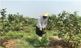 Thu nhập cao từ trồng ổi theo tiêu chuẩn VietGAP