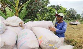 Nhân rộng cánh đồng lớn thúc đẩy liên kết sản xuất lúa