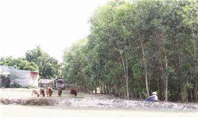 Bình Định: Hệ lụy từ trồng cây lâm nghiệp trên đất nông nghiệp
