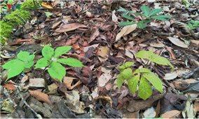 Là dược liệu quý,nhưng phát triển sâm Ngọc Linh ở Kon Tum vẫn gặp khó