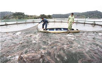 Hướng đi mới cho cá tầm ở Sơn La