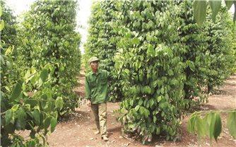 Đăk Nông: Nông dân phát triển hồ tiêu bền vững
