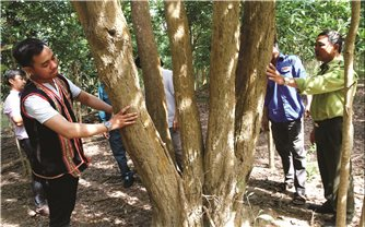 Những cây gỗ quý được bảo vệ nghiêm ngặt ở Đak Tơ Ver