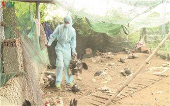 Trà Vinh phát hiện và tiêu hủy gần 1.000 con gia cầm bị cúm A/H5N1