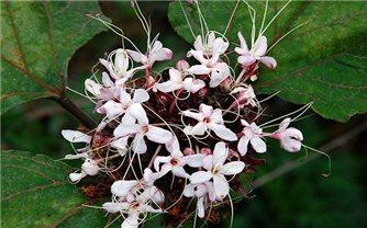 Bài thuốc từ cây bạch đồng nữ (cây mò trắng)