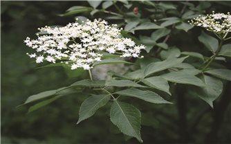Cây thuốc mọi (cây lá thơm) chữa bệnh