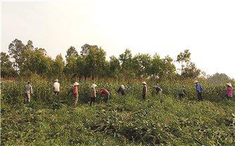 Hiệu quả từ chuyển đổi cơ cấu cây trồng ở Bố Trạch