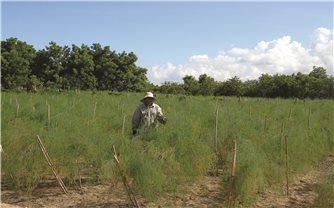 Ứng dụng công nghệ Israel để trồng măng tây xanh: Đánh thức tiềm năng vùng đất khô hạn