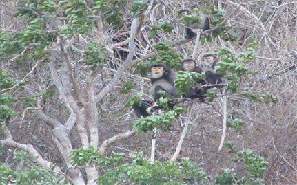 Xuất hiện đàn voọc quý hiếm tại rừng ven biển Ninh Thuận