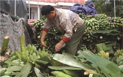 Nông dân trồng chuối, chanh leo ở Hướng Hóa (Quảng Trị): Lại trông chờ một cuộc giải cứu nông sản