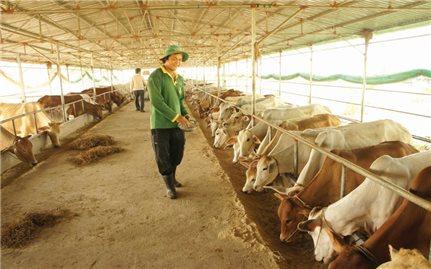 Sử dụng đệm lót sinh học trong chăn nuôi: Hiệu quả nhưng khó nhân rộng