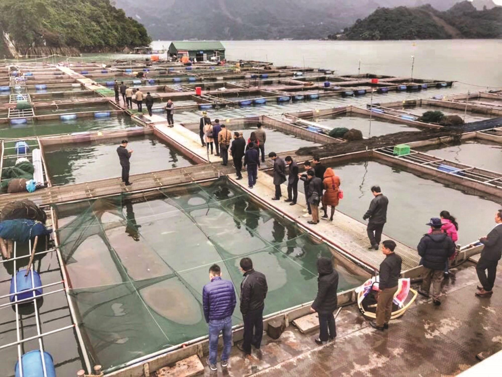60 lồng cá sông Đà được nuôi theo tiêu chuẩn VietGAP của TP. Hòa Bình