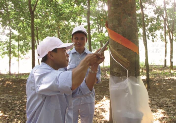 Công nhân Công ty CP Cao su Lai Châu thu hoạch mủ cao su.