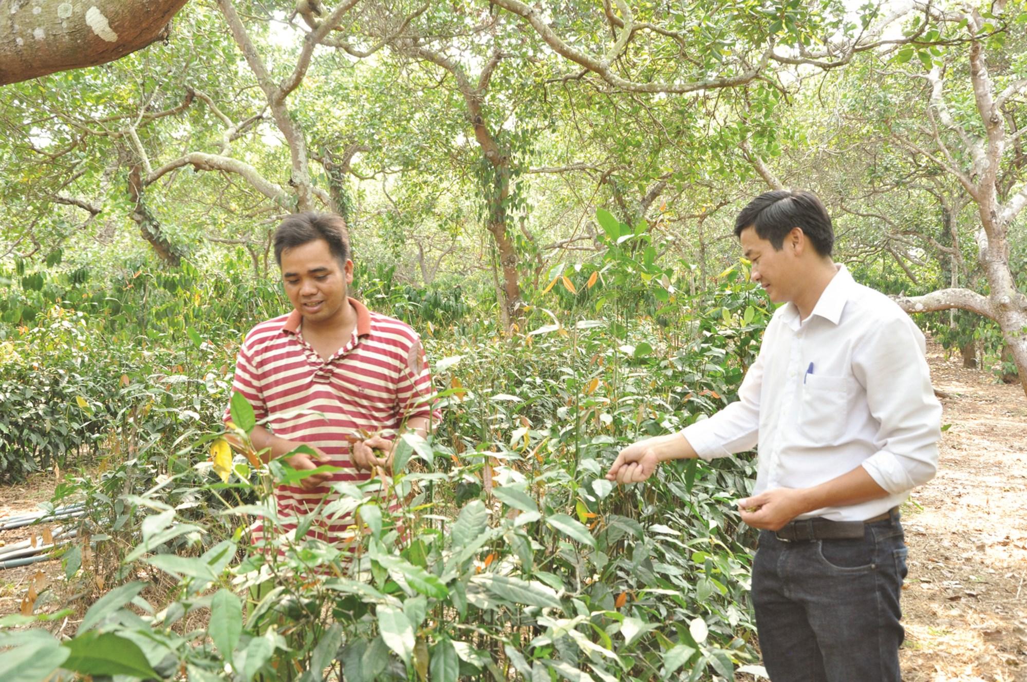 Anh Điểu Mon (bìa trái) dẫn khách thăm quan vườn lá nhíp trồng xem dưới tán điều