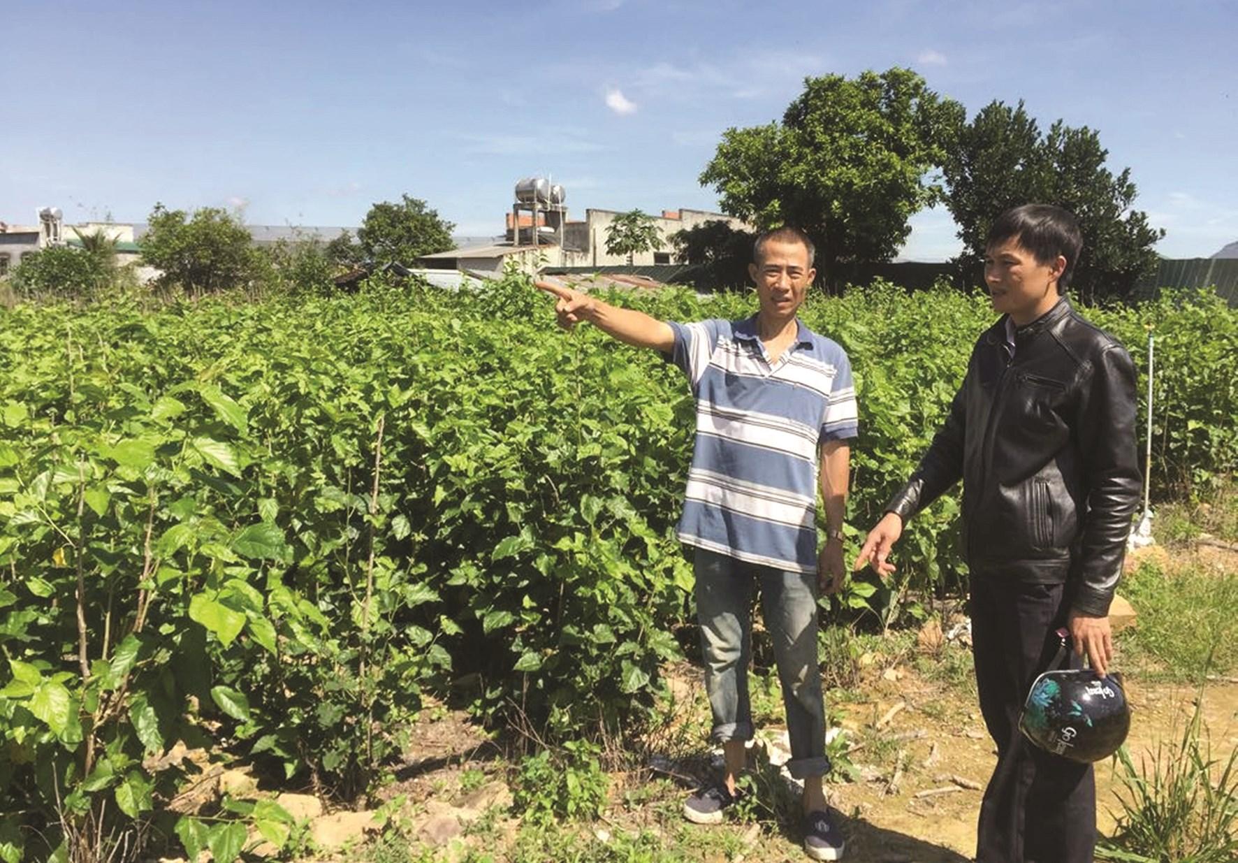 Khu đất trồng lúa trước đây nay người dân đã chuyển đổi trồng dâu
