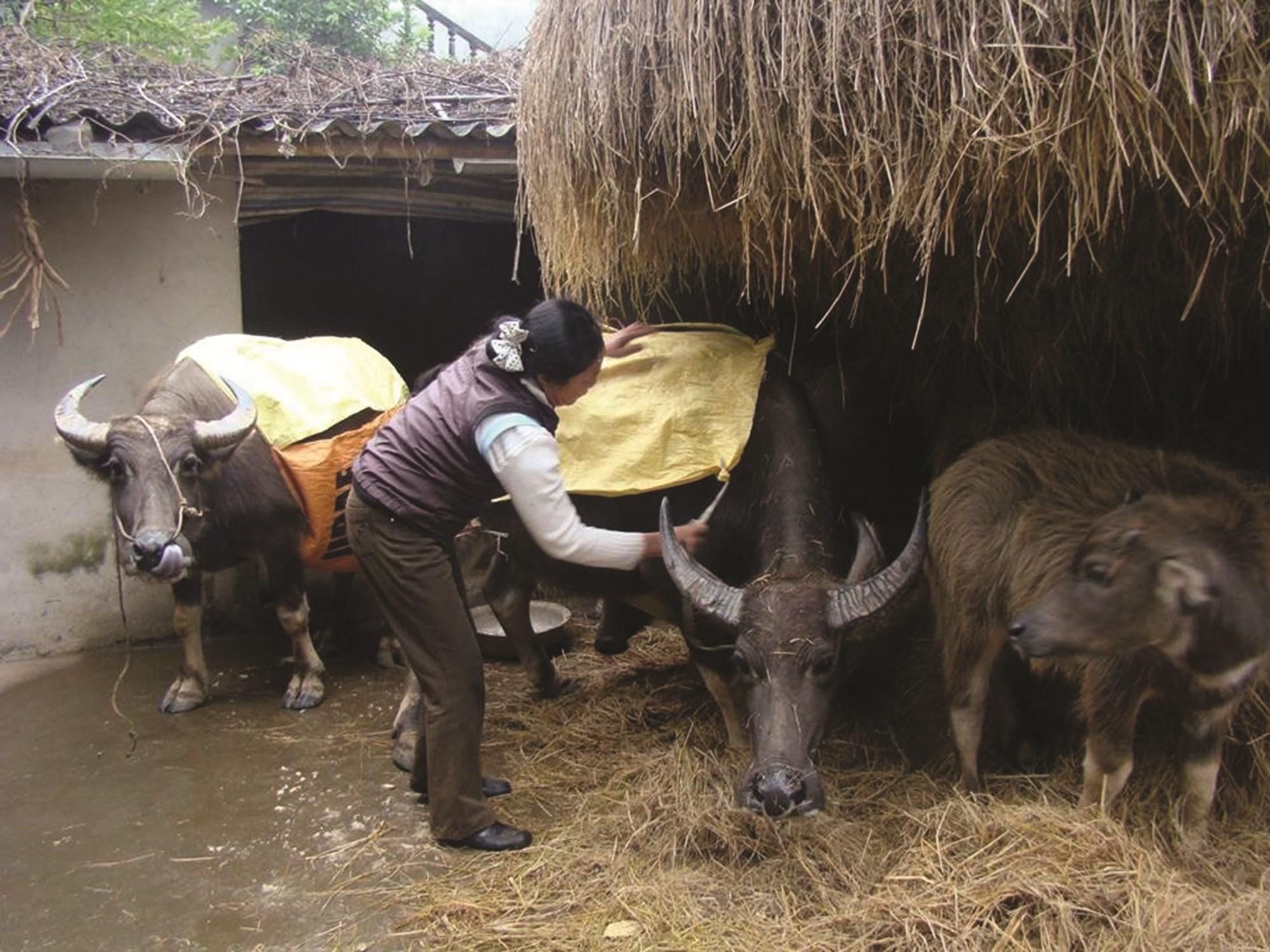 Chủ động phòng chống đói, rét cho gia súc