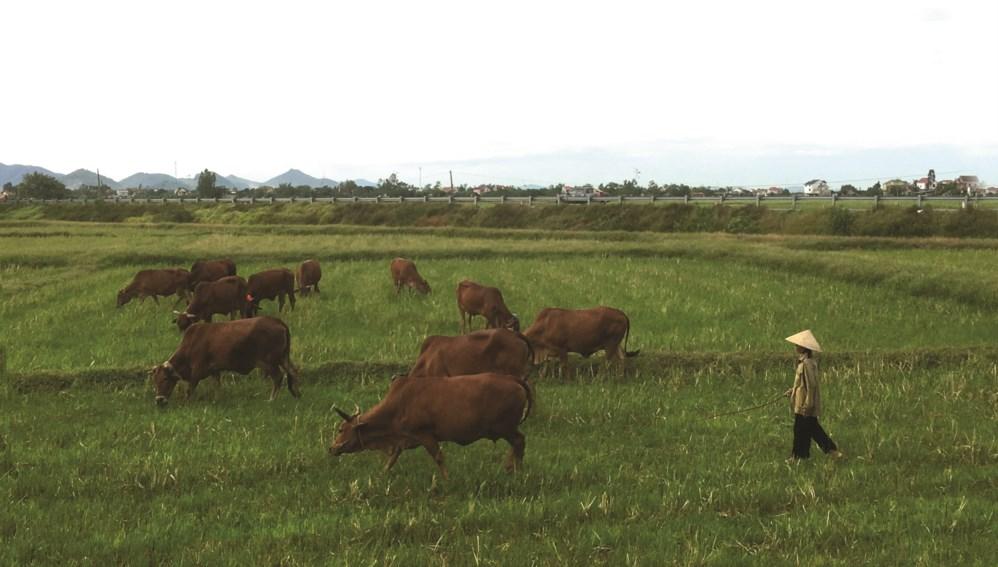 Nhiều diện tích ruộng bị nông dân bỏ hoang trở thành nơi chăn bò tại huyện Yên Thành