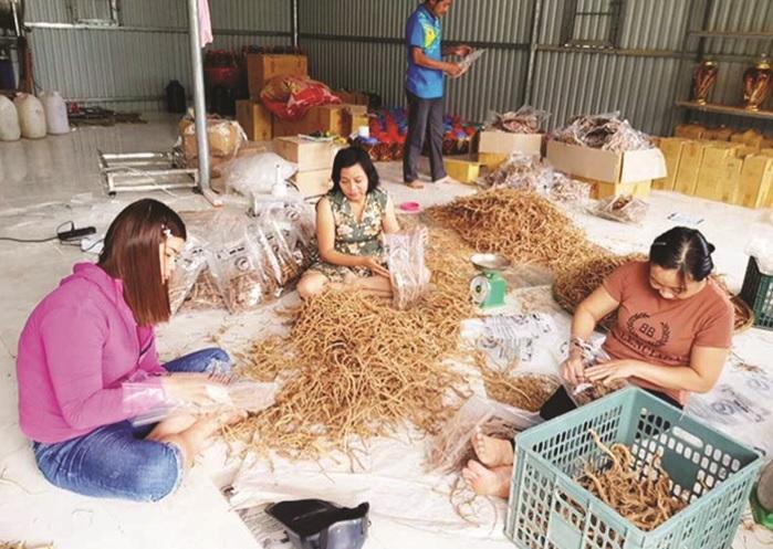 Dược liệu ba kích Tây Giang (Quảng Nam) là nguyên liệu của sản phẩm rượu ba kích Chính Châu