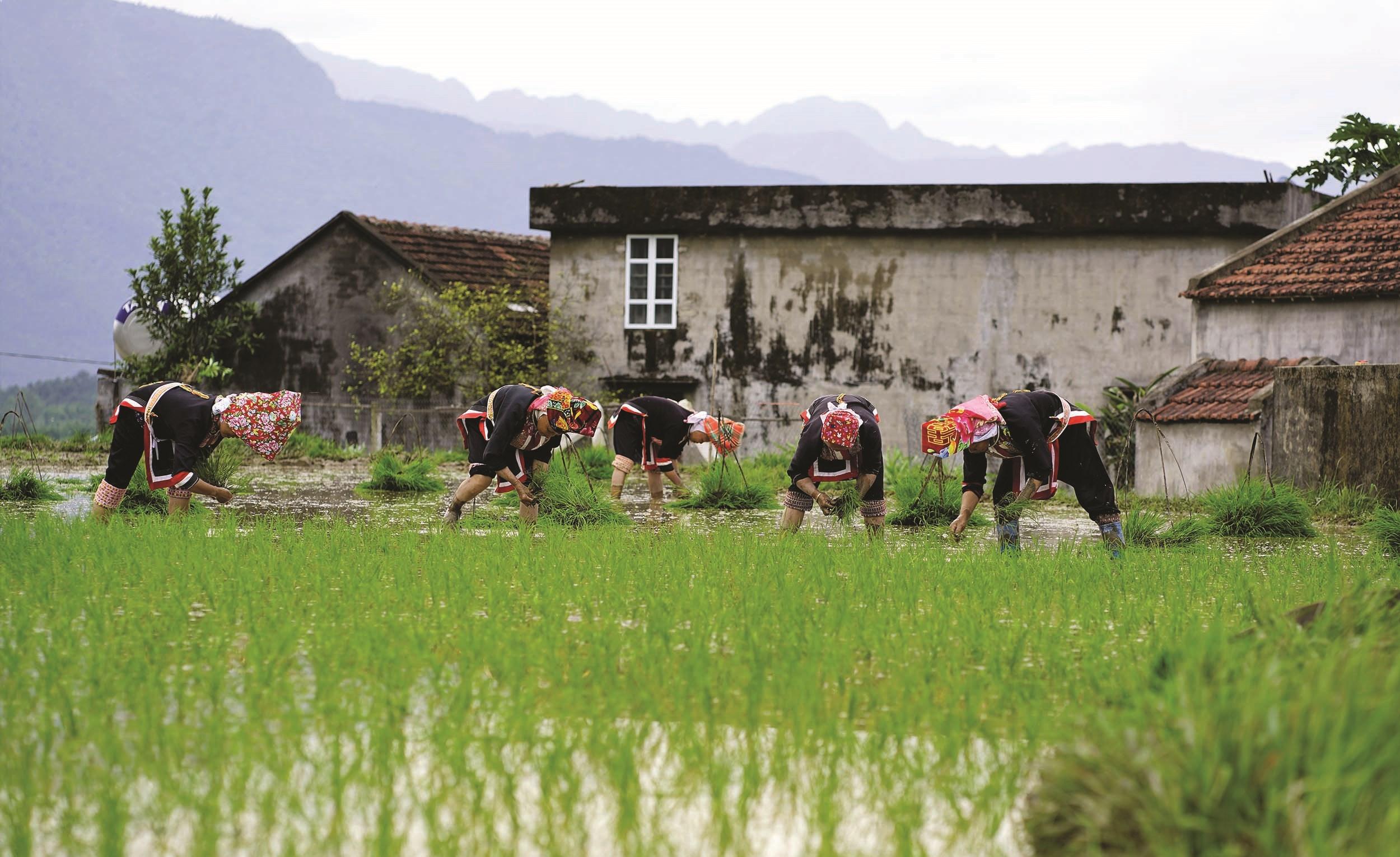 Đồng bào dân tộc Dao, huyện Bình Liêu đang đưa giống lúa mới, năng suất cao vào sản xuất