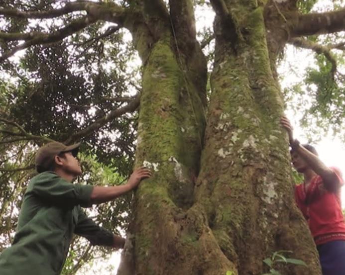 Những cây quế cổ thụ hàng trăm năm tuổi được người dân xã Trà Vân bảo vệ như tài sản quý của làng