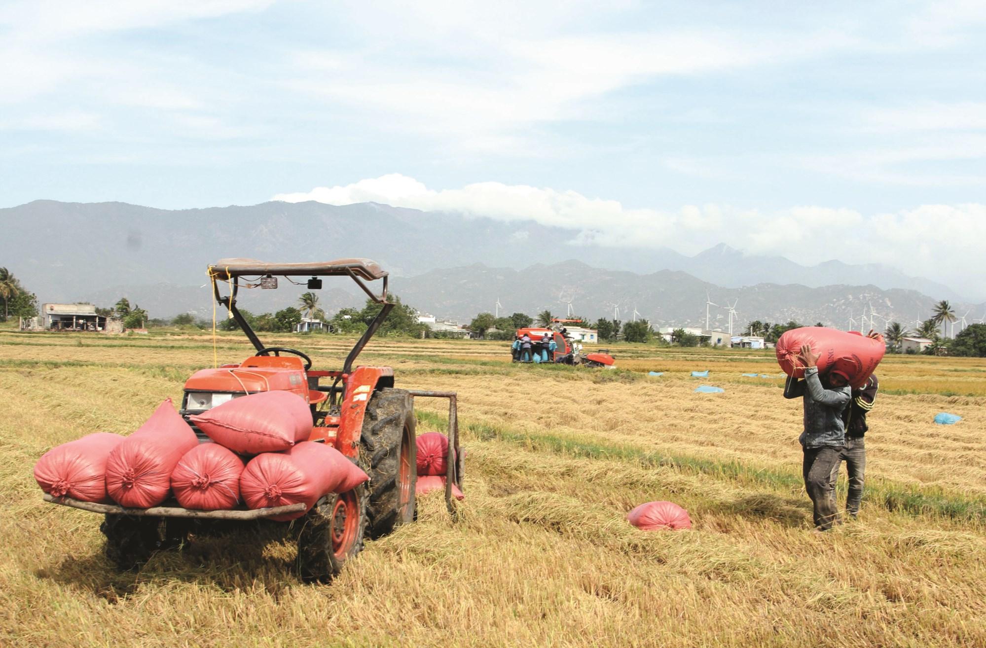 Giáo dân xã Tân Hải phấn khởi thu hoạch lúa vụ mùa 2019, năng suất ước đạt 6 tấn/ha